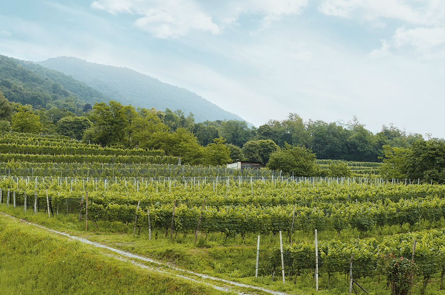 cormano-vines-ticino-switzerland